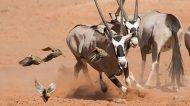 Planet Earth 2 photos Sand Grouse and Oryx