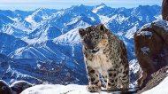 Planet Earth 2 photos Snow Leopard